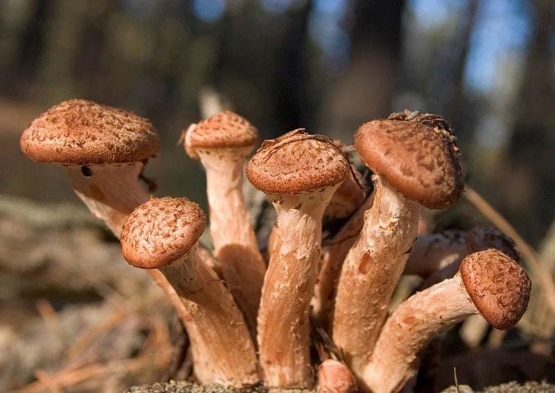 Обои для рабочего стола грибы в лесу осенью опята